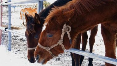 遠野馬の里で越冬放牧