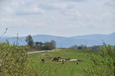 荒川高原牧場で放牧が始まる